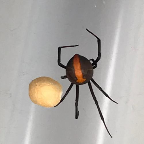 Shock as family finds redback the size of Golf Ball in house