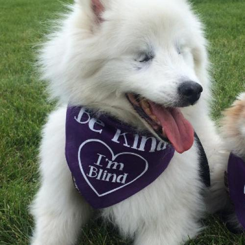 Blind Eskimo Dog Is Inseparable From His Own Guide Dog