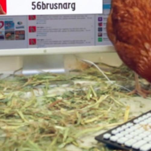 Betty The Hen Eyes Record For First Chicken To Send Tweet