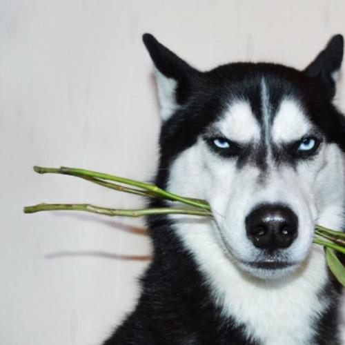 Grumpy Husky Saves His Owner's Life and Earns Her Thousands