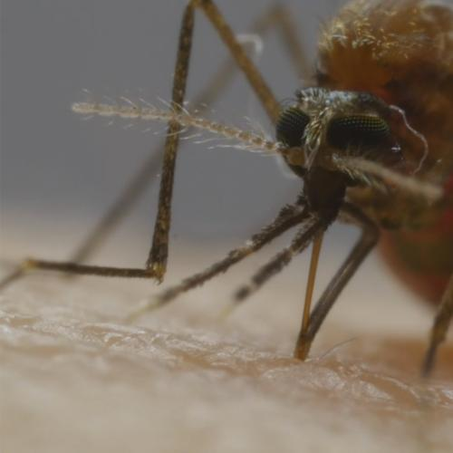 Enjoy This Zoomed-In Look Of How Mosquitos Suck Your Blood