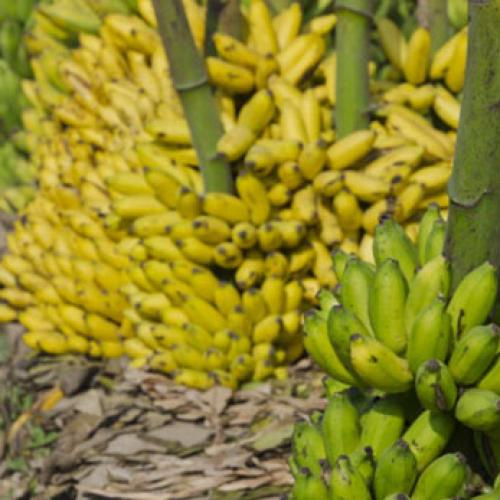Big Fan Of Banana's? We Have The Worst News For You!