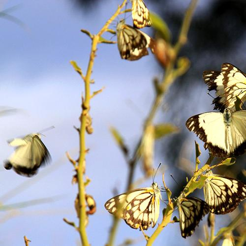 Why There Are So Many Butterflies In Brisbane Right Now