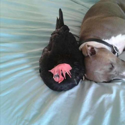 Friendship Story: A Blind Chicken & A Pit Bull!