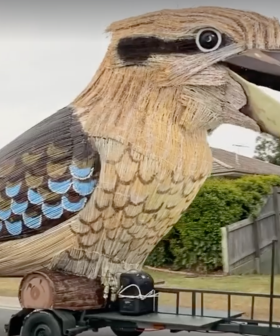 Huge Kookaburra Laughs Its Way Down The Streets of Brisbane On Its Voyage North