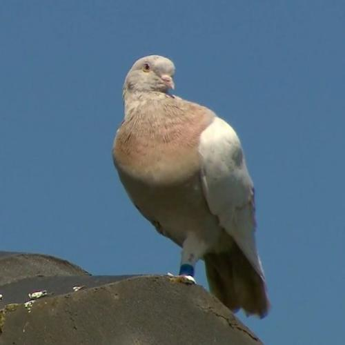 The Pigeon Who Flew 15,000km From Alabama To Australia Given The Death Sentence By Authorities