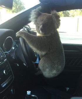 Daring Koala Causes Six-Car Pile Up On Adelaide's South Eastern Freeway