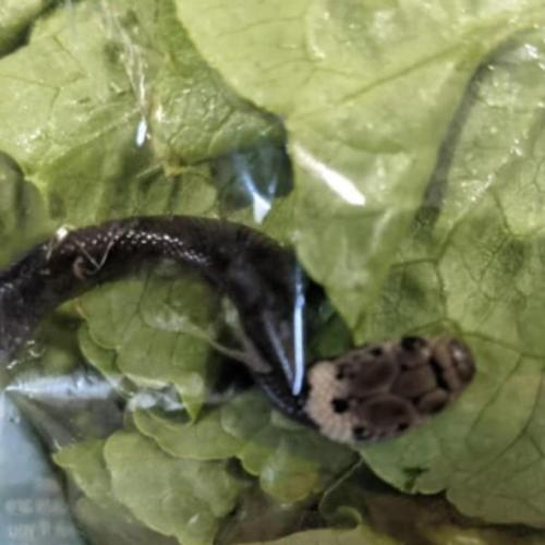 Aldi Shopper Gets Fright Of Her Life As She Finds A Live Snake In Her Lettuce Bag